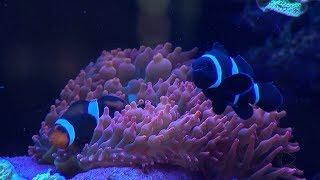 Empresário de Itu cria mais de 200 espécies de corais marinhos