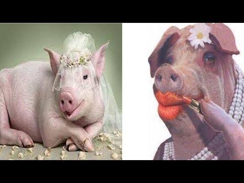bộ phận chứa nhiều chất độc hại của lợn