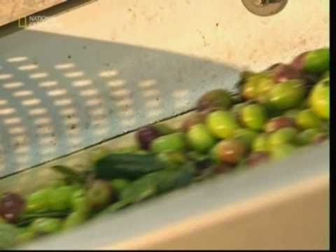 olive oil - The process of making olive oil. The differences between the traditional and modern method are also shown - from harvesting to grinding to extracting.