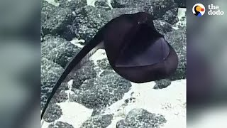 Rarely Seen Sea Creature Puffs Up Like A Big Balloon | The Dodo by The Dodo
