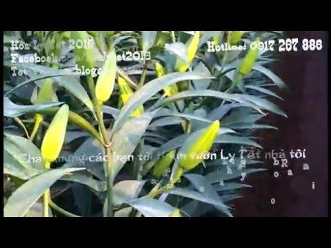Hoa ly Tết 2016 - Đặt hoa ly tết ở đâu đẹp giá rẻ? - Thời lượng: 71 giây.