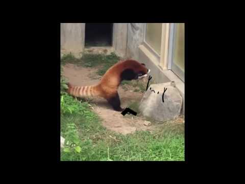 Red panda freaks out of a rock-ANIMATED