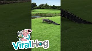 "Occurred on July 17, 2017 / Boca Raton, Florida, USA""During a lesson later in the day on 7/17/2017, I spotted a huge alligator crossing the path. He did not seem to be phased at all!""TO SEE THE HOTTEST VIRAL VIDEOS DAILY...Subscribe to us on YouTube: https://goo.gl/A0gBKkLike us on Facebook: https://goo.gl/XQWqJtFollow us on Instagram: https://goo.gl/NMq8dlFollow us on Twitter: https://goo.gl/pF8XopViralHog is the resource for the best viral content.  Submit your own great video and make money: https://goo.gl/yejGkmContact licensing@viralhog.com to license this or any ViralHog video."