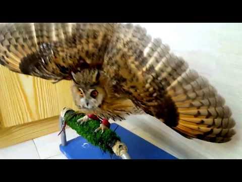 Pöllö pelottelee – Uhkaavan näköinen