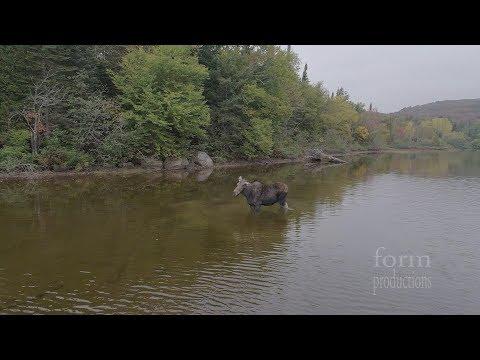 Latając dronem przypadkowo nakręcił walkę wilka z łosiem! Coś niesamowitego!