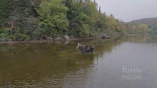 Wilk atakuje Łosia – zobacz jego reację! Coś niesamowitego!