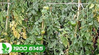 Trồng trọt | Cà chua bị bệnh héo xanh: Biểu hiện và cách chữa