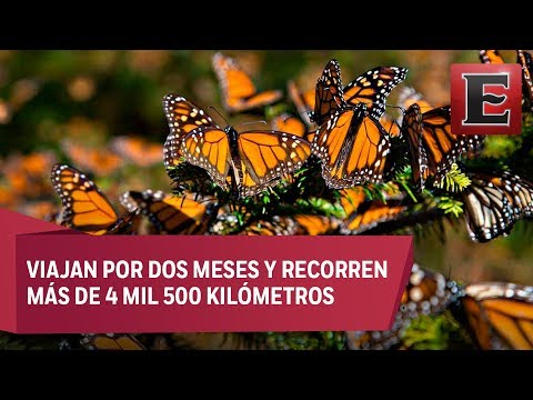 El viaje de la Mariposa Monarca a México