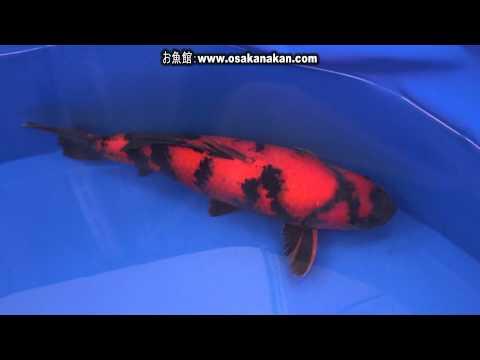 第43回 全日本総合錦鯉品評会 牡丹賞 第50部 緋写り・黄写り