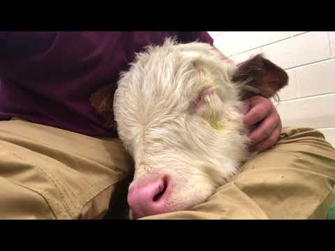 A Sleeping Baby Cow Softly Snores On His Human s Lap Like A