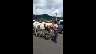 Desfile de boyeros en Costa Rica.