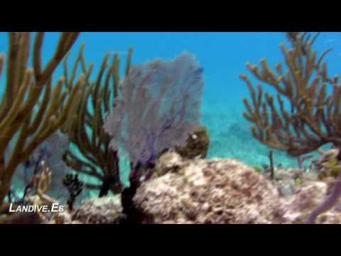 LANDIVE.ES - Tiburones Toro - Playa del Carmen - Mexico