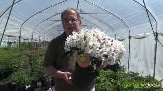 #1181 Rhododendron Hybride Marsala