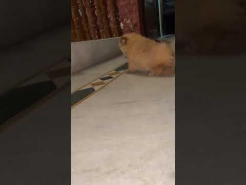 Bhola Shola – Play Dog – Toy pom – miniature Pom – Culture Pom – Pomeranian