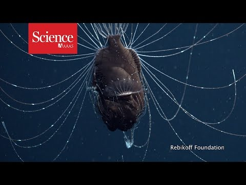 Ensimmäistä videokuvaa tästä syvänmeren oudosta kalasta (anglerfish)