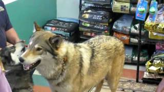 Download Video Wolf and wolf hybrid MP3 3GP MP4