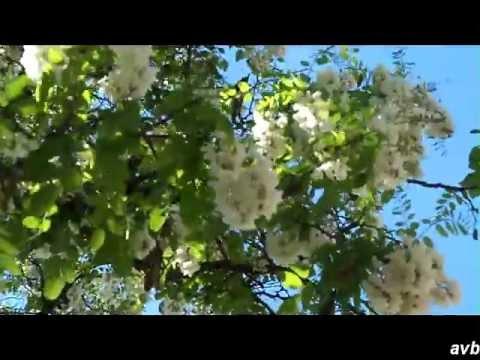 видео романса белой акации гроздья душистые