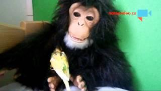 VIDEO DNE: Mládě andulky se zachumlalo do úkrytu k plyšové opici