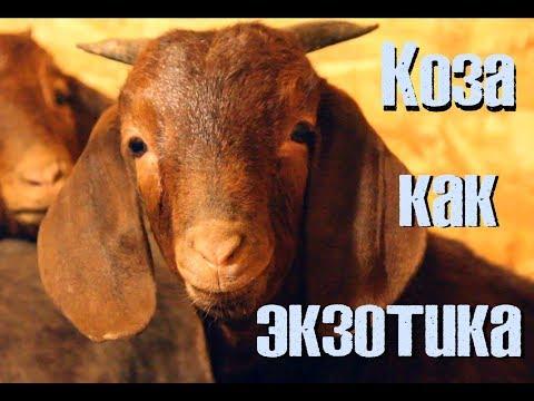 Африканские гости - козы тоже экзотика