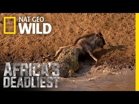 Croc Sneak Attack | Africa's Deadliest