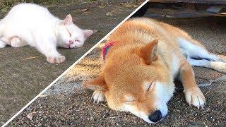 …番犬の仕事はどうした?野良猫と一緒につい昼寝をしてしまう柴犬