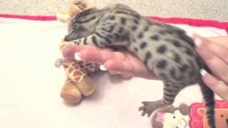 F5 Savannah Kitten Girl # 1 - Savannah Cats - WildTafari.com