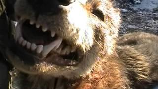 Video Lovacki Magazin - Hajka na vuka u Kursumliji i Hajka na lisicu Borac MP3, 3GP, MP4, WEBM, AVI, FLV Oktober 2017