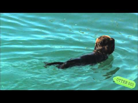 Lo strano modo di nuotare della baby lontra