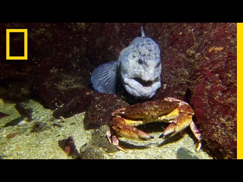 Meet the Intimidating Eel That Mates For Life | National Geographic