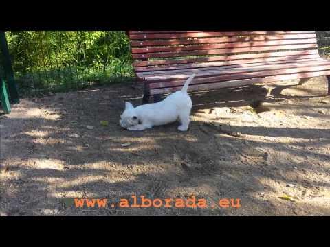 Un cachorro westy nacido en nuestro criadero de west highland white terrier