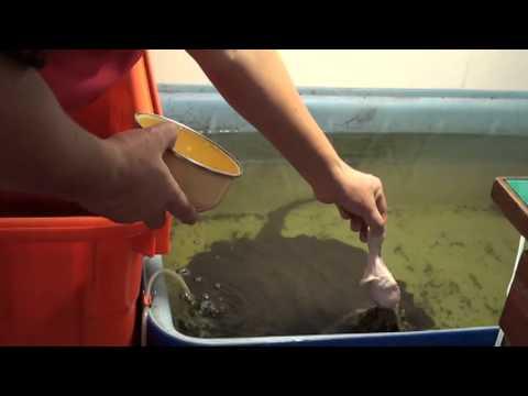 挑戰生命....用手餵鱷龜吃雞腿..結果!!