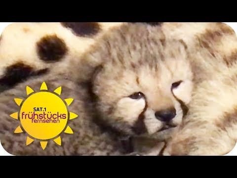 Schloß Holte-Stukenbrock: Vierfacher Geparden Nachwuchs im Zoo Safaripark Stukenbrock