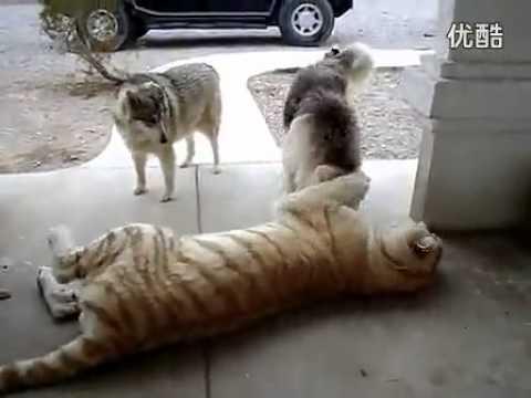 當老虎遇到兩隻哈士奇狗狗...  你知道接下來會發生什麼事嗎 ?