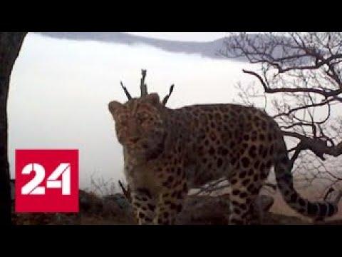 Дальневосточный леопард скоро может потерять статус самой редкой кошки в мире - Россия 24 - DomaVideo.Ru