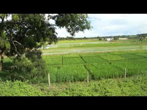 Plantação de arroz na água-Brazabrantes-GO