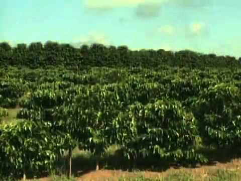 Pesquisadores da Embrapa conseguem clonar mudas de café arábica em Varginha.wmv