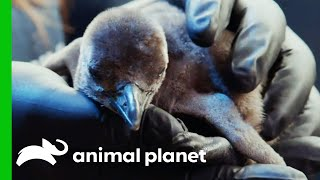 African Penguins Get Their Nests Ready To Welcome New Chicks! | The Aquarium by Animal Planet