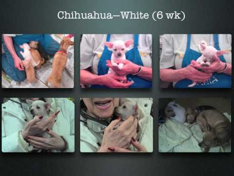 Chihuahua (Purebreed) Family Album  (EXT)—ADOPTED