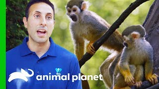 Moving Adorable Baby Squirrel Monkeys to 'Monkey Island' | The Zoo by Animal Planet