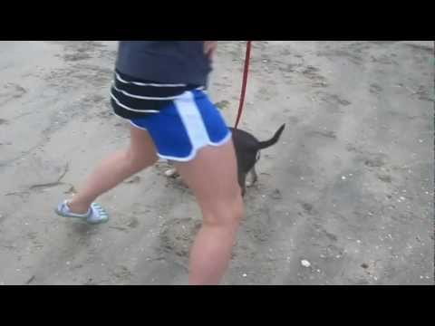Deer Chihuahua (Luna) Running in Sand