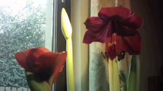 Amaryllis Time Lapse Project complete