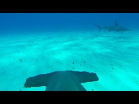 Una camera GoPro sul dosso di uno squalo martello