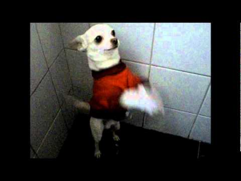 Chihuahua bailando el wakawaka
