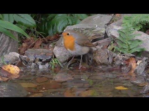Vogelbad im Garten. Singvögel am Wasser. Eifel / Dohr 11.11.2015