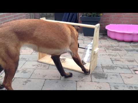 德國牧羊犬 Bella 總是有超多體力, 也非常聰明, 於是主人想了個點子 讓她可以同時動動手又動動腦!