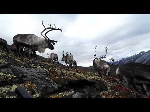 Guy gets surrounded by reindeer