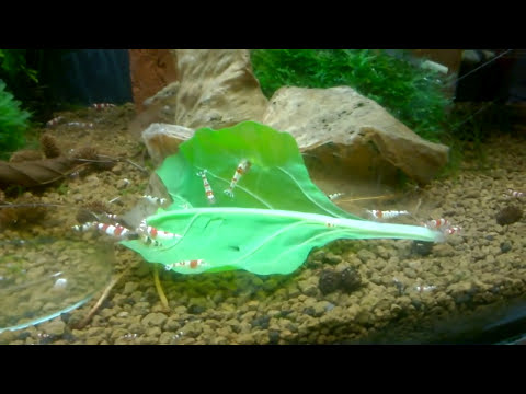 How To Prepare Organic Spinach For Your Crystal Shrimp/Cherry Shrimp etc 🦐 (видео)