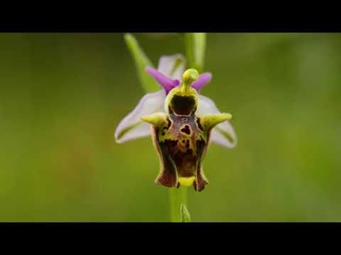 Orchidee spontanee del Parco dei Castelli Romani