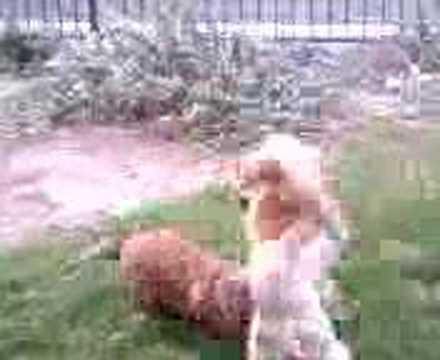 LiOn DoG PLaY FiGhTinG WiTh REiNDeeR ChiHuAhUa