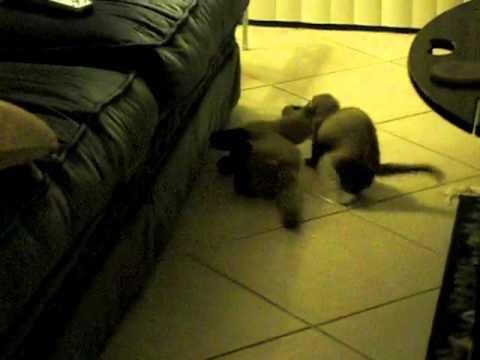 Oliver, The Ferret, Hiding His Favorite Stuffed Animal